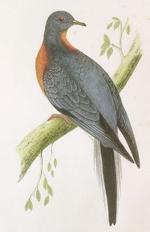 Passenger Pigeon, 1850s Book (Ectopistes migratorius) Columbidae: Extinct - 1914