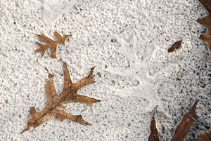 Patterns made by rain and Turkey Oak leaf in sand road, Alachua Co., FLO