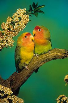 Peach-faced Lovebirds (Agapornis roseicollis), digitally enhanced