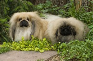 Pekingese and puppy Terry Bonner