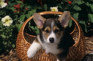 Pembroke Welsh Corgi in Basket in front of Flowers, CO Springs