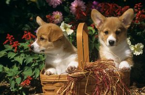 Pembroke Welsh Corgi Puppies sitting in Basket in front of Flowers, CO Springs