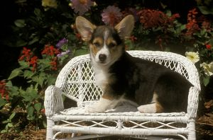 Pembroke Welsh Corgi sitting on Wicker Bench in front of Flowers, Colorado Springs