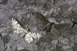 Peppered Moths (Biston betularia) Light & Dark Phases on Dark Bark/England