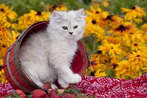 Persian kitten (baby doll type) in strawberry basket; Harvard, Illinois, USA (CT) colorful