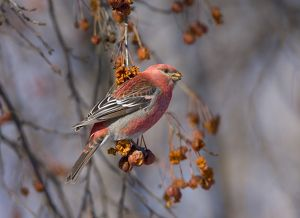 Pine Grosbeak (Pinicola enucleator), male feeding on crabapple fruits in winter