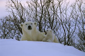 Polar Bear with cub (Ursus martimus) Churchill, Manitoba
