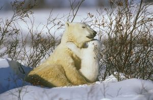 Polar Bear Mother with cubs (Ursus martimus) Churchill, Manitoba