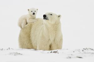 Polar Bears, Mothers and Babies, Manitoba, Canada