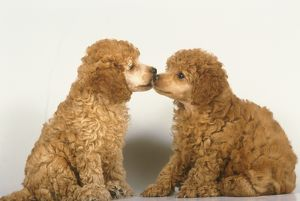 Two Poodle Puppies kissing
