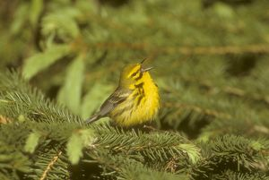 Prairie Warbler male singing in spring - Ithaca, NY (Dendroica discolor)