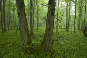 Primeval Forest, Bialowieza National Park, Poland