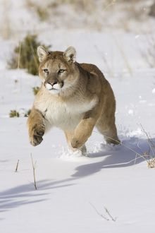 Puma, Puma concolor, running through the snow in a wintery scene in Montana, USA