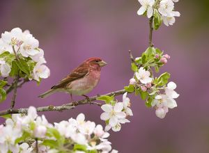 Purple Finch (Carpodacus purpureus) male perched amid apple blossom in spring