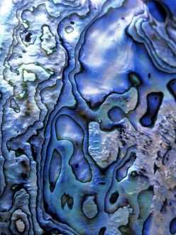 Rainbow Abalone aka Paua Shell, Detail, (Haliotis iris), New Zealand