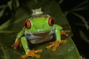Red-Eyed Treefrog with young on its Head (Agalychnis callidryas)