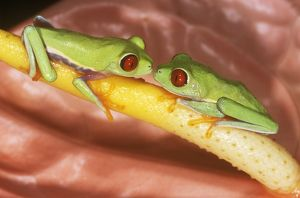 Red-eyed Treefrogs / Red-eyed Leaf Frogs (Agalychnis callidryas) pair on Anthurium
