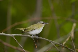 Red-eyed Vireo (Vireo olivaceus), New York, USA