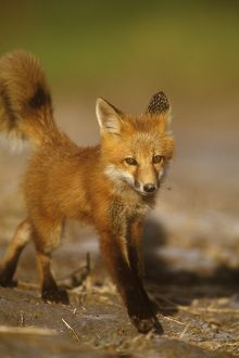 Red Fox (V. vulpes), young, stretching, Utah