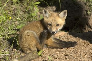 Red Fox (Vulpes vulpes) pup, captive Minn.Wildlife Connection