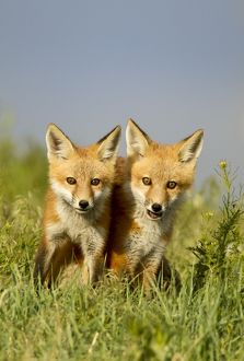 Red Fox (Vulpes vulpes) Pups at densite Eastern Colorado
