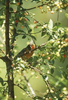 Robin, swallowing white cherry (Turdus migritorius) West SD