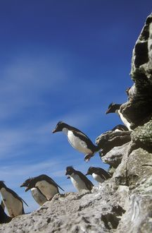 Rockhopper Penguins hopping (Eudyptes chrysocome), Falkland Isl