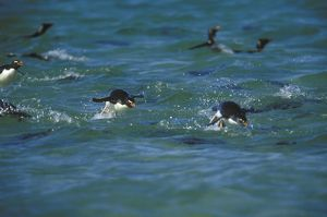 Rockhopper Penguins swimming in Surf (Eudyptes chrysocome), Falkland Isl