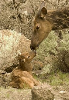 Rocky Mountain Elk (Cervus elaphus) Mother with calf that is less than one day old
