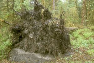 Root base of fallen tree Olympic National Park Washington