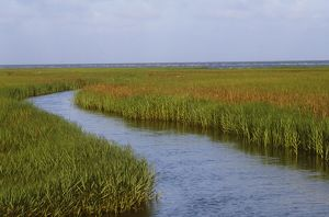 Salt Marsh (Spartina sp.), East Jetty, May, S. of Cameron, LA, Louisiana
