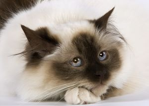 Seal Birmanese Cat