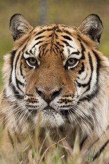Siberian Tiger, Panthera tigris altaica, staring across field. Captive situation