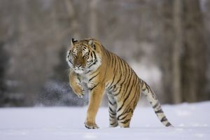 Siberian Tiger, Panthera tigris altaica, running in a snowy landscape, Controlled
