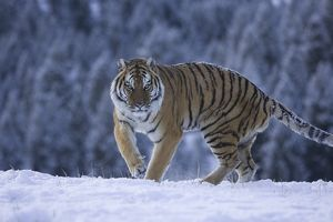 Siberian Tiger, Panthera tigris altaica, in snow, CAPTIVE, Montana, USA