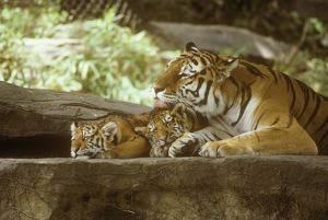 Siberian Tigers, Mother and cubs