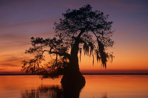 Silhouette of Bald Cypress (Taxodium distichum) in lake at sunset, Lake Fausse Pt