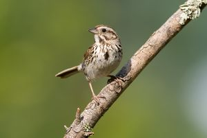 Song Sparrow (Melospiza melodia) Asheville, NC 2008 Digital