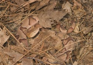 Southern copperhead hiding in pine needles and leaves (Agkistrodon contortrix contortrix)