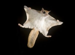 animals/mc donald wildlife photograhy/southern flying squirrel glaucomys volans voplaning