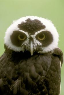 Spectacled Owl (Pulsatrix perspiculata)
