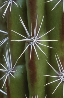 Spines and Ribs of Octopus Cactus (Stenocereus alamosensis), native to Mexico