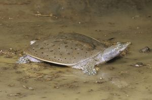 Spiny Softshell Turtle (Trionyx spiniferus), Central US