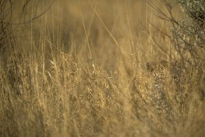Spotted Leopard hiding in Grass (Panthera pardus), IC, Nambia