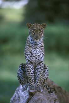 big cats/spotted leopard panthera pardus kenya east