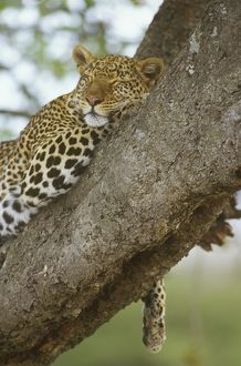 Spotted Leopard sleeping in Tree (Panthera pardus), Masai Mara, Kenya