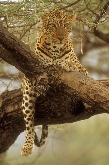Spotted Leopard in Tree (Panthera pardus), Samburu GR, Kenya