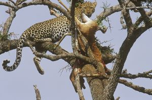Spotted Leopard in Tree W/ T. Gazelle Kill (Panthera pardus), Samburu GR, Kenya