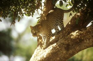 Spotted Leopard walking down Acacia Tree (Panthera pardus), Samburu GR, Kenya