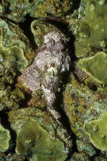 Spotted Scorpionfish (Scorpaena plumieri), camouflaged, Caribbean
